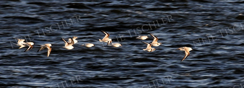 #1640  possible flock of Sanderlings in flight  at Plum Island, Newburyport, MA  on Jan 1, 2020
