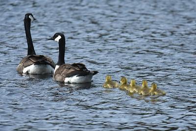 #1606  Canada Goose family