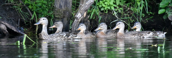 #1494  Mallard female with six ducklings