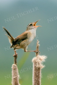 #1012  A marsh wren straddles two cattails and sings.