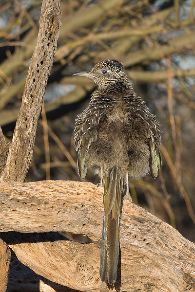Roadrunner fluffing feathers to warm his back