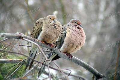 #896  A pair of Mourning Doves in winter