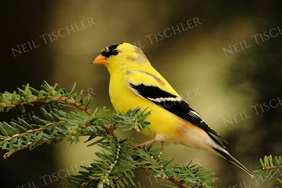 #1039  A male American Goldfinch in springtime