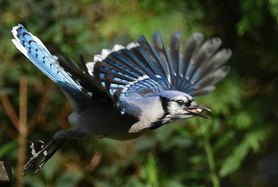 #1713  Blue Jay taking flight
