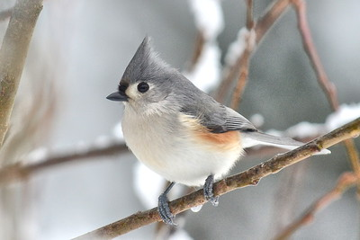 #1577  Tufted Titmouse