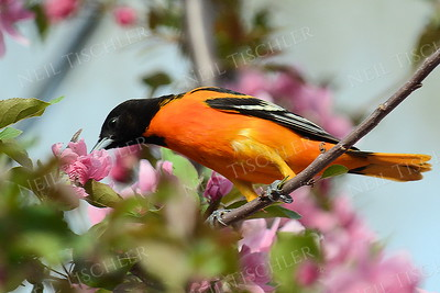 #1168  Baltimore Oriole, male