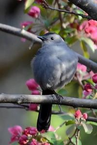 #1656  Gray Catbird