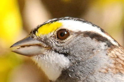#841  White-throated Sparrow portrait