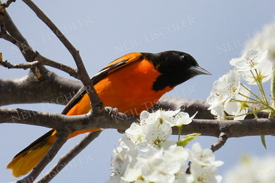 #1113  A male Baltimore Oriole looking for caterpillars among the spring tree blossoms