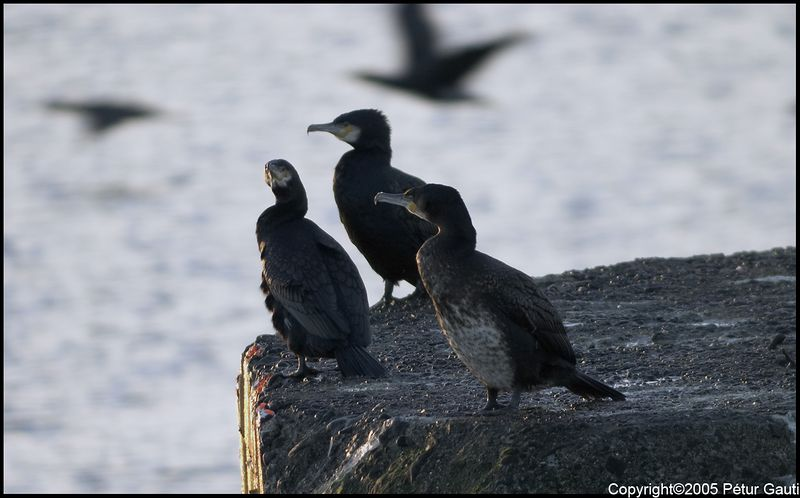 Three Cormorants (#2152)