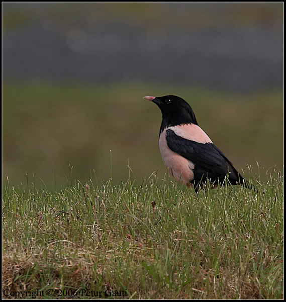 Rósastari (Sturnus roseus) - Rose-coloured Starling