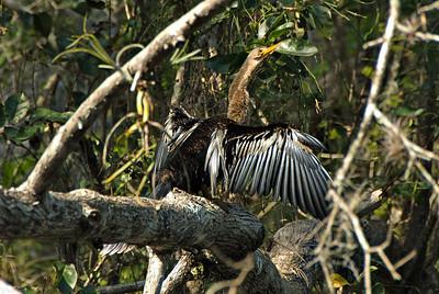 Anhinga: (Feb 2007, Corkscrew Swamp Refuge, Florida. Nikon D200 w/18-200VR Nikkor)