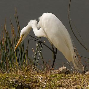 Great Egret: (Feb 2007, Fort Myers, Florida. Nikon D200 w/18-200VR Nikkor)
