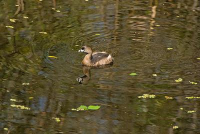 Pied-Billed Grebe: (Feb 2007, Corkscrew Swamp Refuge, Florida. Nikon D200 w/18-200VR Nikkor)