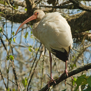 White Ibis: (Feb 2007, Corkscrew Swamp Refuge, Florida. Nikon D200 w/18-200VR Nikkor)