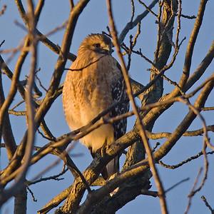 Red Shouldered Hawk (?): (Jan 2007, Nikon D200 w/18-200VR Nikkor)