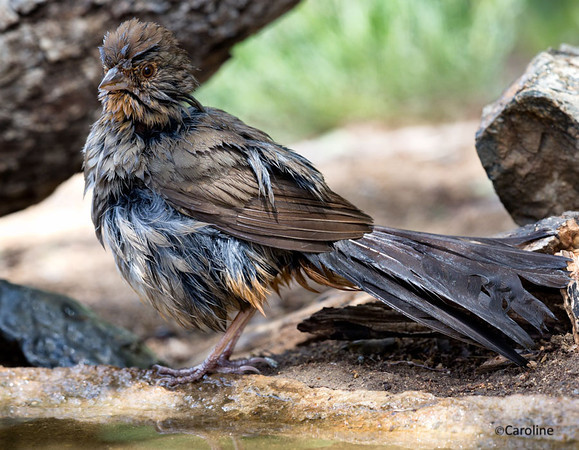 California Towhee  After a Bath