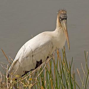 Wood Stork: (Feb 2007, Fort Myers, Florida. Nikon D200 w/18-200VR Nikkor)