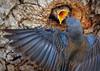 Western Bluebird Feeding Chick