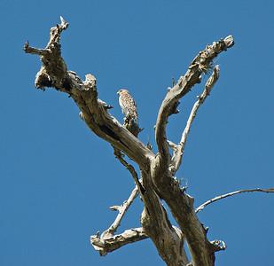 Red Shouldered Hawk: (Feb 2007, Corkscrew Swamp Refuge, Florida. Nikon D200 w/18-200VR Nikkor)