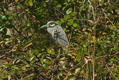 Yellow Crowned Night-Heron: (Feb 2007, Corkscrew Swamp Refuge, Florida. Nikon D200 w/18-200VR Nikkor)
