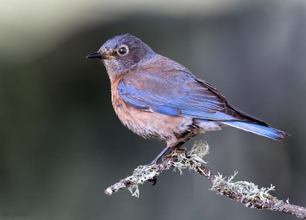 Female Western Bluebird