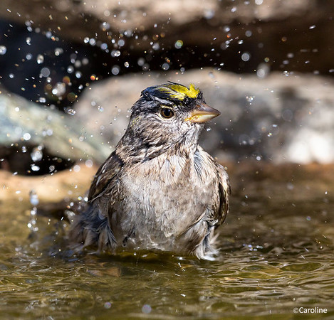 Golden Crowned Sparrow Bathing