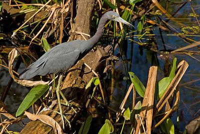Little Blue Heron: (Feb 2007, Corkscrew Swamp Refuge, Florida. Nikon D200 w/18-200VR Nikkor)