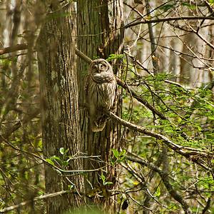 Barred Owl: (Feb 2007, Corkscrew Swamp Refuge, Florida. Nikon D200 w/18-200VR Nikkor)
