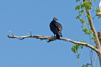 Black Vulture: (Feb 2007, Corkscrew Swamp Refuge, Florida. Nikon D200 w/18-200VR Nikkor)