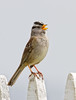 White Capped Sparrow