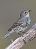 Female Yellow Rumped Warbler