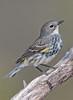 Female Yellow Rumped Warbler