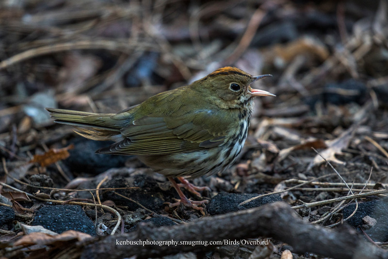 Ovenbird 0280