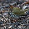 Ovenbird 0312