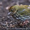 Ovenbird 0420