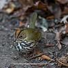 Ovenbird 0757