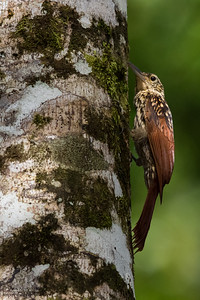 Black-striped Woodcreeper - Gamboa, Colon, Panama