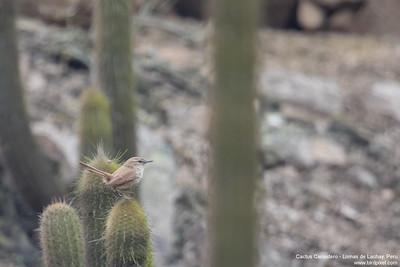 Cactus Canastero - Lomas de Lachay, Peru