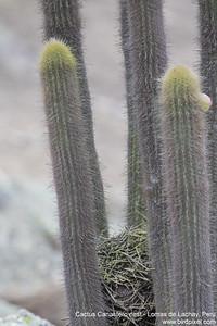 Cactus Canastero nest - Lomas de Lachay, Peru