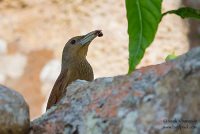 Cinnamon-throated Woodcreeper - Amazonia Lodge, Nr. Manu National Park, Peru