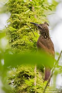 Cocoa Woodcreeper - El Valle, Panama