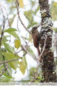 Long-tailed Woodcreeper - San Jose, Costa Rica