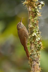 Montane Woodcreeper - Napo, Ecuador
