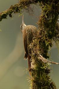 Montane Woodcreeper - Papallacta, Ecuador