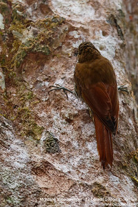 Montane Woodcreeper - El Dorado Lodge, Colombia