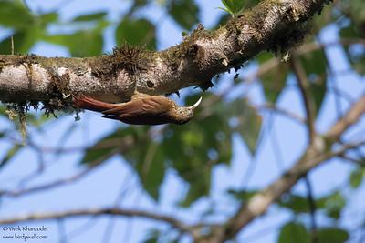 Montane Woodcreeper - Mashpi, Ecuador