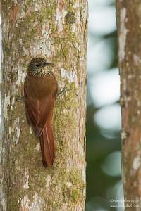 Montane Woodcreeper - Mindo, Ecuador