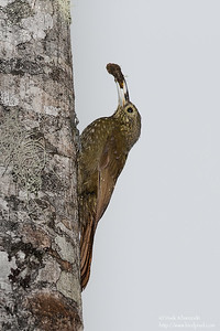 Olive-backed Woodcreeper - San Isidro Lodge, Ecuador
