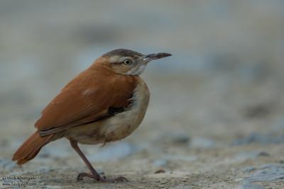 Pale-legged Hornero - Mashpi, Ecuador